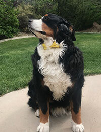 Clyde, Bernese Mountain Dog